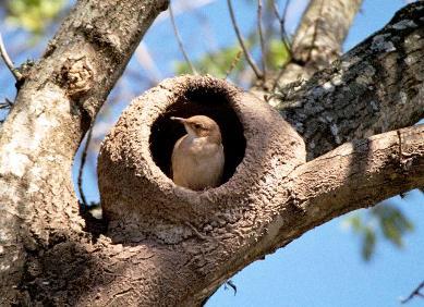 Hornero en su nido. Autor: Wikifaunia.com